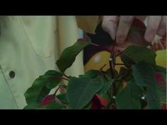 How to make a Poinsettia bloom anytime - YouTube