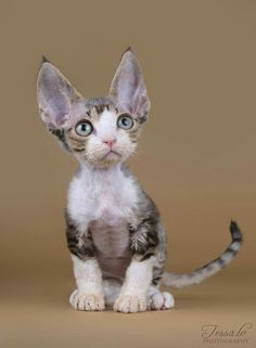 Looking at you - looking at me. Devon rex