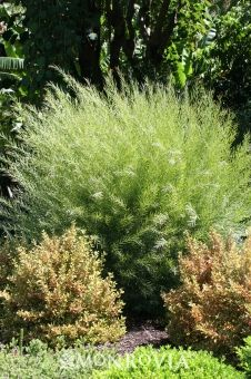 Acacia iteaphylla, Willow Wattle, 10'-12' tall and wide --- left hand side // hedge filler