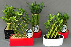 No need for potting soil, Lucky Bamboo is happy to grow in just water. If you have a windowless office, this is one plant you should try–it thrives in both Lucky Bamboo Care, Lucky Bamboo Plants, Big Garden, Indoor Garden, Indoor Plants, Bamboo Planter, Planter Pots, Plant Art, Plant Decor