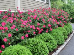 Landscaping Hedges Front Yard Knockout Roses With Boxwood Hedge In Of Garden House Http Magnificent Picture 55 Magnificent Landscaping Hedges Front Yard Picture Ideas Boxwood Landscaping, Boxwood Hedge, Front Yard Landscaping, Landscaping Ideas, Texas Landscaping, Farmhouse Landscaping, Front Yard Hedges, Landscaping With Roses, Garden Paths