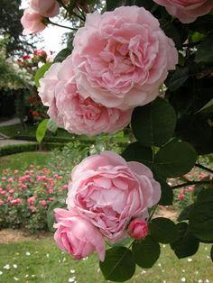 French Rose Constance Spry Roseraie de Bagatelle bois deboulogne Paris, France