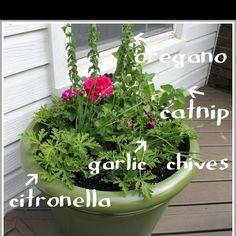 Mosquito Repellant Herb Garden Lawn And Plants Porch