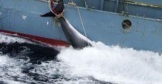 Caza ilegal de ballenas bajo el falso pretexto de la investigación FIRMA Y COMPARTE ESTA...