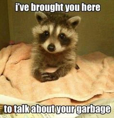 Brought You Here - I've brought you here to talk about your garbage. Baby Racoon Funny Picture. Dailyhaha is your daily dose of laughs!