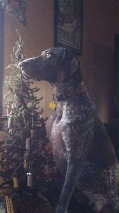 GSP Christmas (German shorthair pointer)