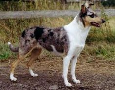 Smooth Collie Database