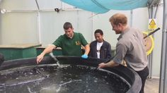 """Kensington Palace on Twitter: """"Prince Harry helps catch some of the fish to weigh and monitor them....sometimes a bit easier with a net!"""