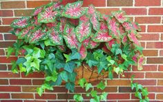 Caladiums and Ivy