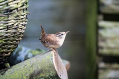 "pagewoman: "" Wren by villager jim "" Cottage In The Woods, Wood Cottage, Rare Birds, All Gods Creatures, Autumn Garden, Spring Green, Wren, Rustic Charm, Bird Watching"