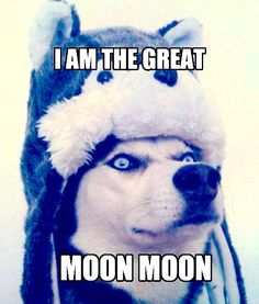 Who weareth the hide of his enemies Funny Dog Quotes - Funny Husky Meme - Funny Husky Quote - The post Who weareth the hide of his enemies Funny Dog Quotes appeared first on Gag Dad. Husky Humor, Funny Husky Meme, Dog Quotes Funny, Funny Dogs, Funny Shit, Hilarious, Funny Stuff, Funny Things, Animal Jokes