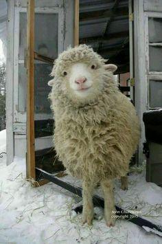 This is a cute sheep. A happy sheep. A fluffy sheep. A smiling sheep Cute Baby Animals, Farm Animals, Animals And Pets, Funny Animals, Happy Animals, Smiling Animals, Animals Images, Nature Animals, Wild Animals