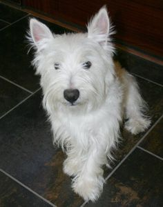 West Highland Terrier, Buster practices sit stay and posing for the camera!  #westie #dogtraining