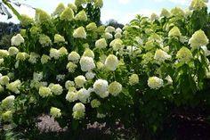 caring for limelight hydrangea Hydrangea Paniculata Grandiflora, Limelight Hydrangea, Garden Trees, Trees And Shrubs, Little Houses, Lawn, Landscape, Green, Plants