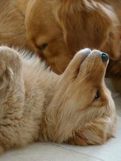 One Golden Retriever Puppy Sleeping and the other one Meditating