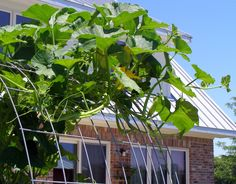 Trellis for climbing vegetables made from cattle panels; strong enough for heavy squash.