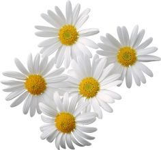 Camomiles PNG image, free flower picture