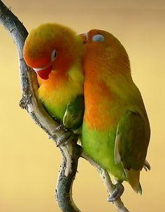 Fischers lovebirds