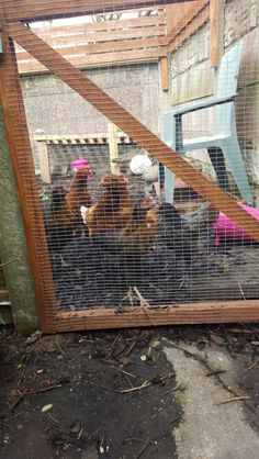 Hens at the bottom of the garden. Only had them a week takes 6 to 8 weeks before we'll get any eggs.