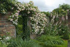 Buy rose Phyllis Bide (rambler) Rosa 'Phyllis Bide': Delivery by Crocus.co.uk