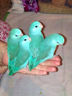 My baby turquoise tinted parrotlets. Such good girls:)
