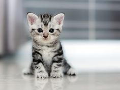 Adorable American Shorthair kitten portrait – The American Shorthair is a versatile cat that can be bred for any number of colors and patterns, including the popular silver tabby. .