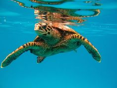 Wasserschildkröte auf Felicite Island - Schnorcheln Félicité Island
