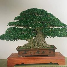 Bonsai Ficus, Indoor Bonsai, Bonsai Forest, Bonsai Styles, Stone Painting, Home And Garden, Instagram Posts, Plants, Gardening