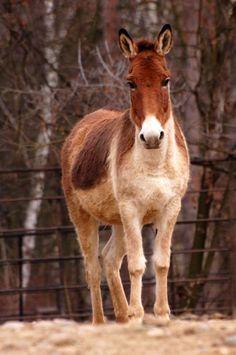 Kiang (Equus kiang)