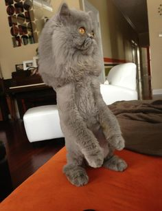 "Not photoshopped. This is me on my back legs after my mom got me a silly ""lion cut"". - Lucy the Persian Cat"