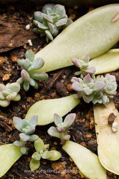 Succulent-Leaf-Cuttings-1