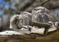 Tawny Frogmouth, Podargus strigoides, The world looks better upside down.