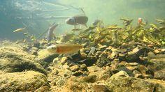 7 fish species on a bluehead chub nest