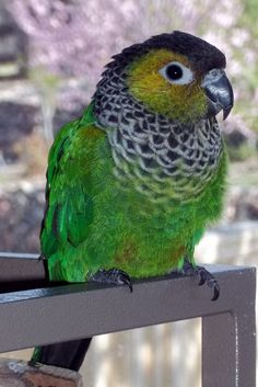 This black capped conure looks just like my Jessie.