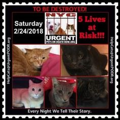 TO BE DESTROYED 02/24/18 – http://nyccats.urgentpodr.org/tbd-cats-page/