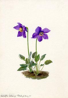 Lilian Snelling -- Meconopsis Delavayi -- Lilian Snelling -- Artists -- RHS Prints
