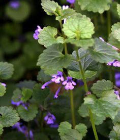 Healing Weeds: Ground Ivy