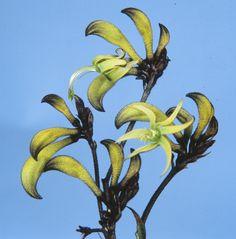 Macropidia Fuliginosa PBR — Lullfitz Nursery Orange Flowers, White Flowers, Bush Garden, Australian Wildflowers, Kangaroo Paw, Coastal Gardens, Sandy Soil, Foliage Plants, Close Up Photos