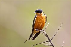 Red-breasted Swallow, #birds