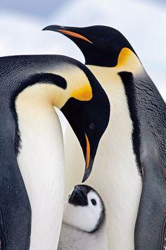 Marcello Libra caught this shot of an emperor penguin family in Antarctica.