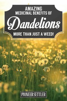 The Many Medicinal Benefits of Dandelions | Home Remedies at http://pioneersettler.com/dandelions-home-remedies