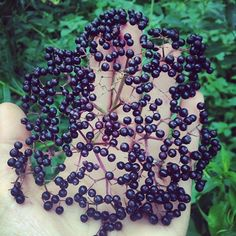 Late summer is elderberry season here in the northeast.  This time of year  herbalists and wild food enthusiasts alike take to the wet meadows and  marshes where this wonderful shrub can most commonly be found.  We're lucky  enough to have quite a healthy patch of elder on our little farm, and I