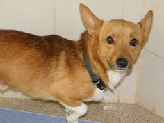 Adopt Corgi-Mix: ABOUT 21211939 DC2:  Please contact Susan (Susan.Waits@arlingtontx.gov) for more information about this pet.OWNER SURRENDER