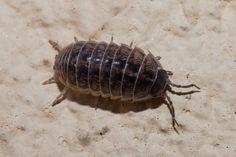 Crustacea - Classe Malacostraca, Subclasse Eumalacostraca (Ordem Isopoda, Família Armadillidiidae)