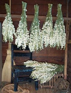 Dried Flower Larkspur White
