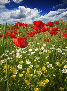 France : papaveri - looks like the fields of France Flowers Nature, Exotic Flowers, Wild Flowers, Beautiful Flowers, Fresh Flowers, Purple Flowers, Wild Flower Meadow, Nature Wallpaper, Red Poppies
