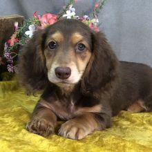 Dachshund Breeders, Dachshund Puppies For Sale, Dachshunds, Dogs, Animals, Dachshund, Animales, Animaux, Weenie Dogs
