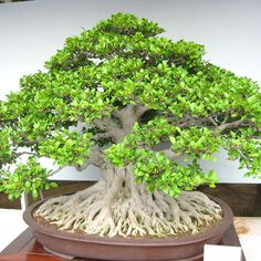 Helpful Guidelines In Growing Indoor Bonsai Trees Bonsai Figowiec Tpy Bonsai Ficus Microcarpa, D. Bonsai, Beautiful Tree Houses, Ficus, Miniature Trees, Bonsai Ficus, Ikebana, Outdoor Gardens, Birch Trees Garden, Garden Pots