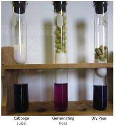 A new twist on using cabbage juice? Most every science teacher is aware that the juice extracted from red cabbage makes an excellent ...