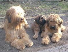 briard dog photo | Briard Dog Pictures Page 1